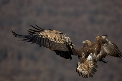 Скален орел хваща белоглав лешояд.