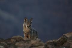 Вълк / Gray wolf / Canis lupus
