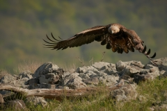 Скален орел/Golden eagle/Aquila chrysaetos