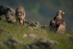 лисица и скален орел