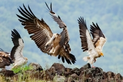 Griffon vulture and egyptian vulture