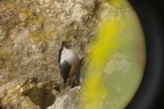 Скална зидарка (Sitta neumayer)