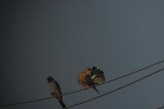 Вечерна ветрушка (Falco vespertinus)