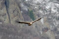 Griffon vulture/Gyps fulvus