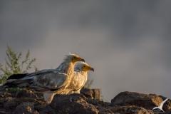египетски лешояди/Neophron percnopterus