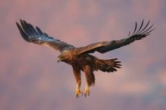 Sкален орел в полет.