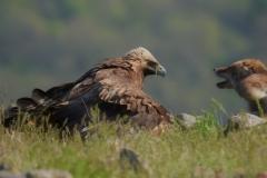 скален орел и лисица