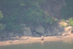 Морски орел (Haliaeetus albicilla)