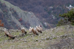 Griffon vultures/Gyps fulvus