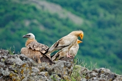 Egyptian vultures and Griffon vulture