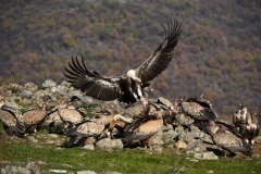 Observation of vultures at feeding